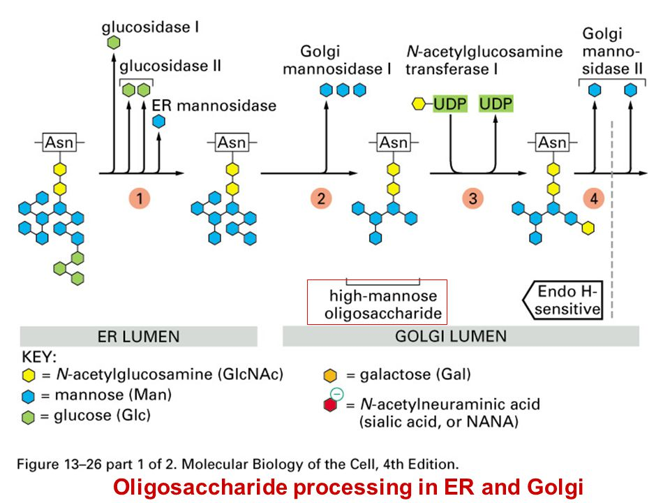 Oligosaccharide processing in ER and Golgi