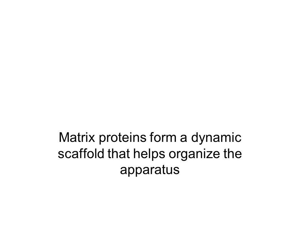 Matrix proteins form a dynamic scaffold that helps organize the apparatus