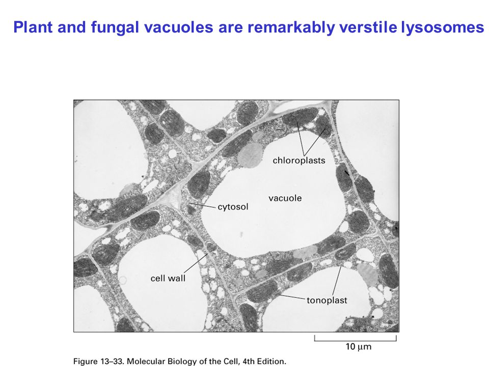 Plant and fungal vacuoles are remarkably verstile lysosomes