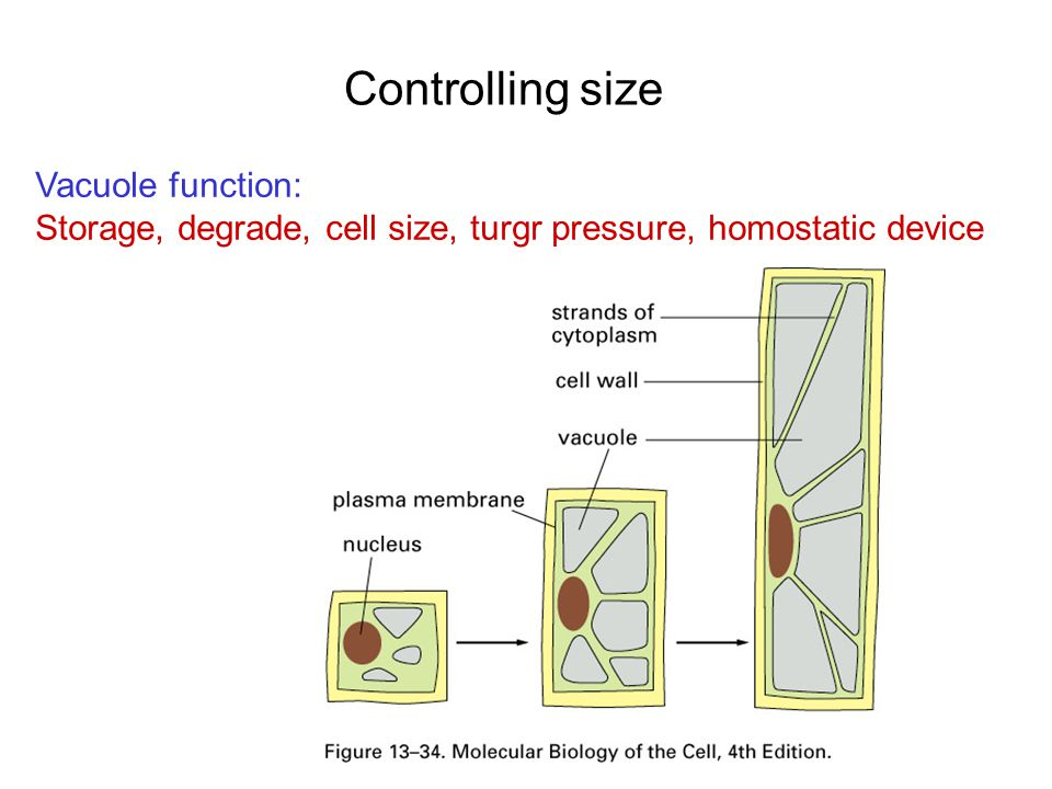 Controlling size Vacuole function: