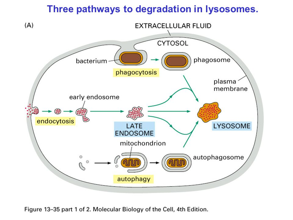 Three pathways to degradation in lysosomes.