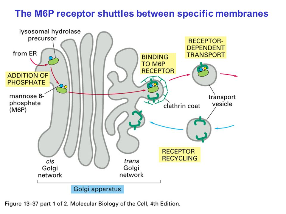 The M6P receptor shuttles between specific membranes
