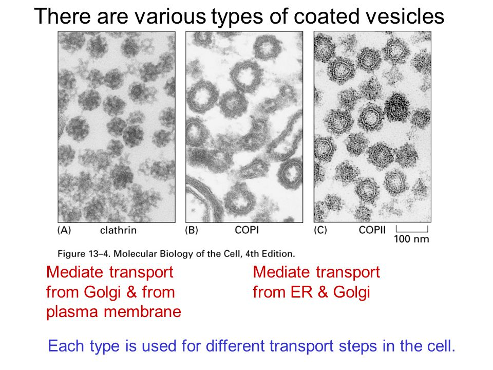 There are various types of coated vesicles