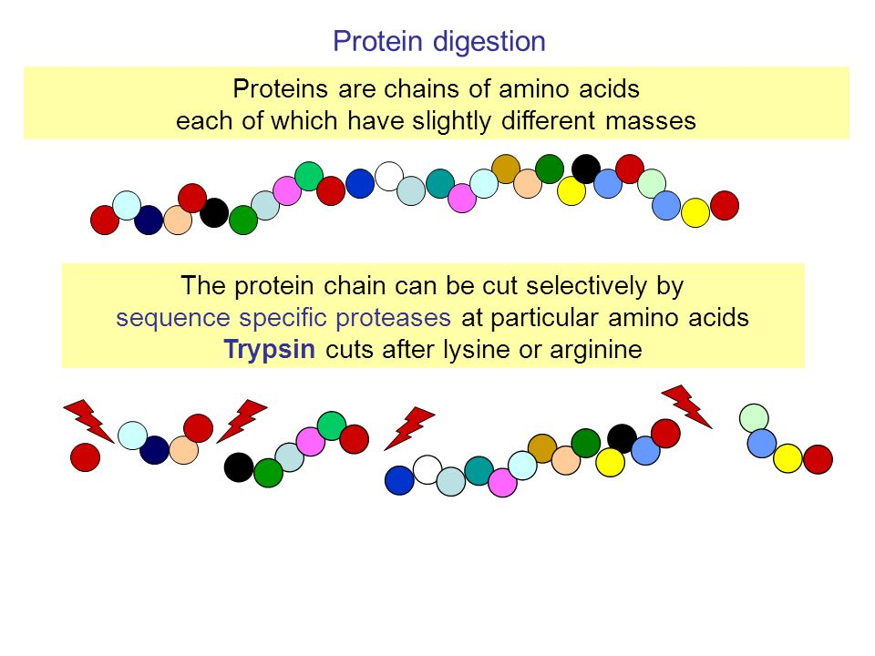 Protein digestion Proteins are chains of amino acids
