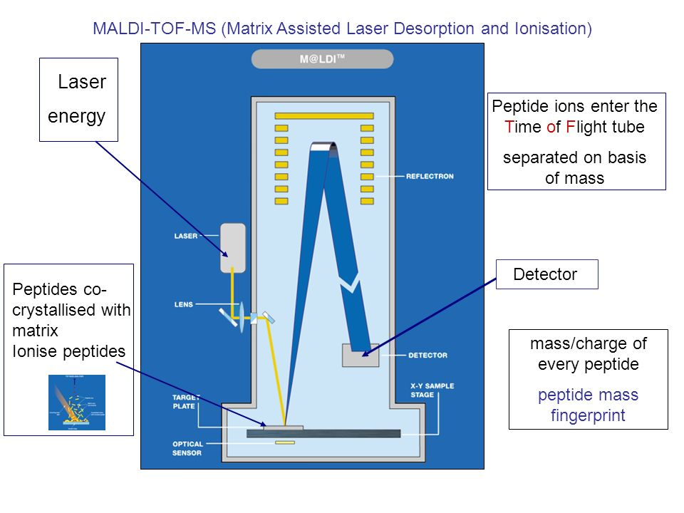 MALDI-TOF-MS (Matrix Assisted Laser Desorption and Ionisation)