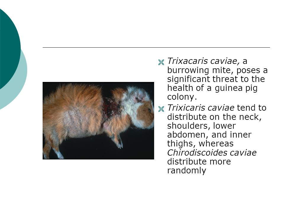 Trixacaris caviae, a burrowing mite, poses a significant threat to the health of a guinea pig colony.
