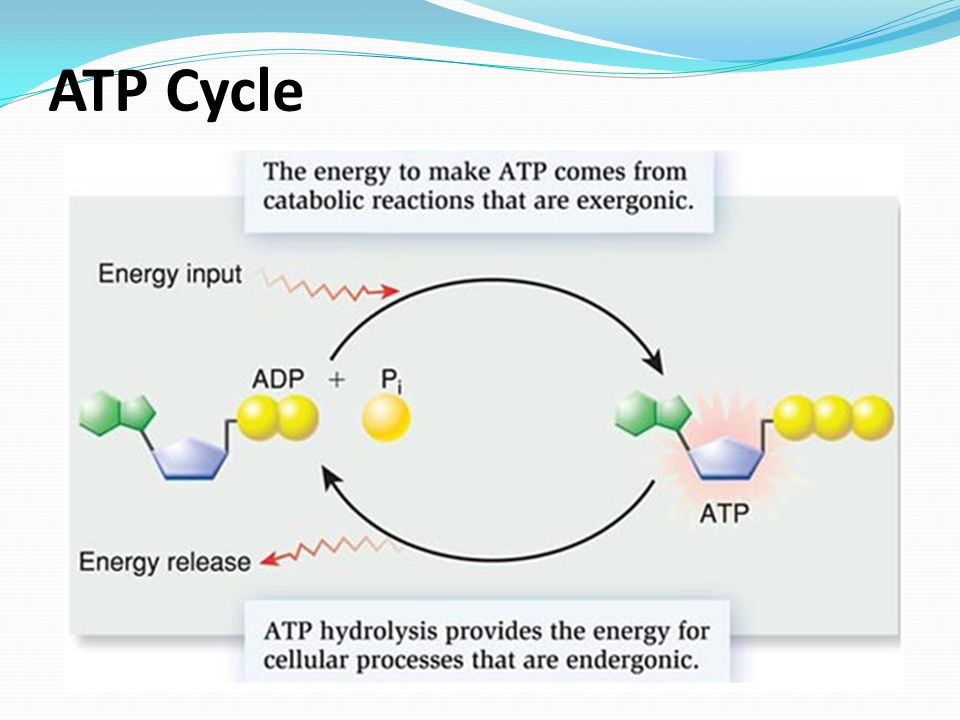 ATP Cycle