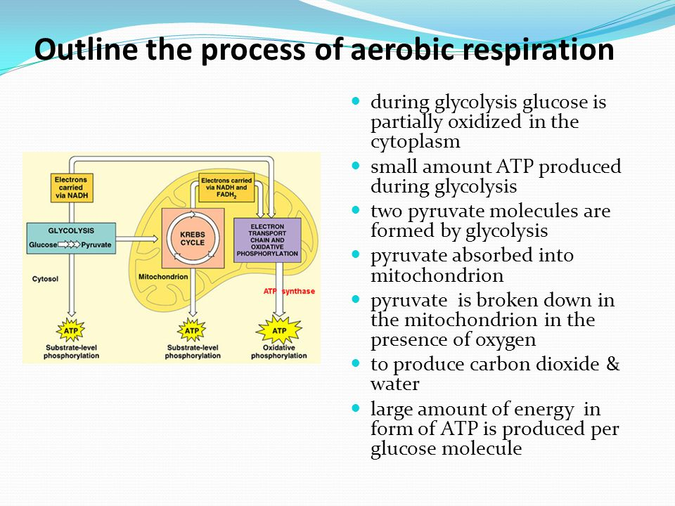 Outline the process of aerobic respiration