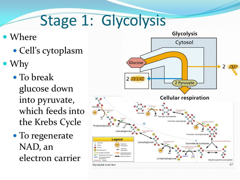 Stage 1: Glycolysis Where Cell's cytoplasm Why
