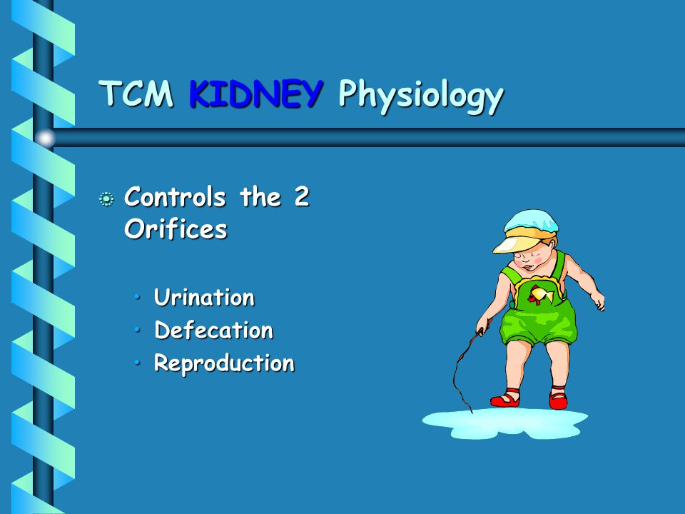 TCM KIDNEY Physiology Controls the 2 Orifices Urination Defecation