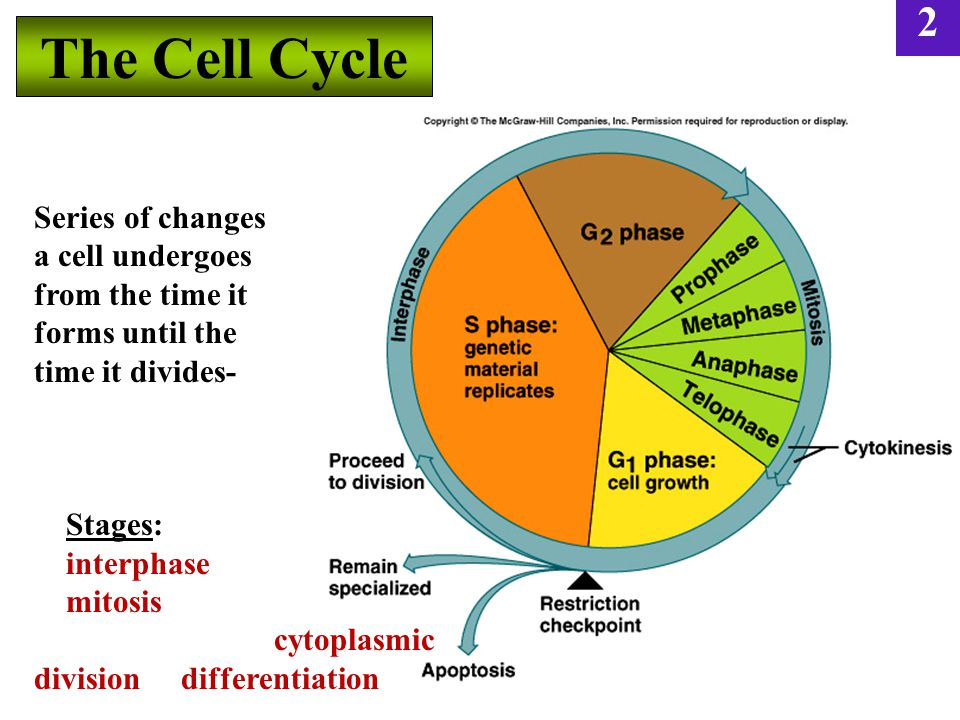 The Cell Cycle Series of changes a cell undergoes from the time it