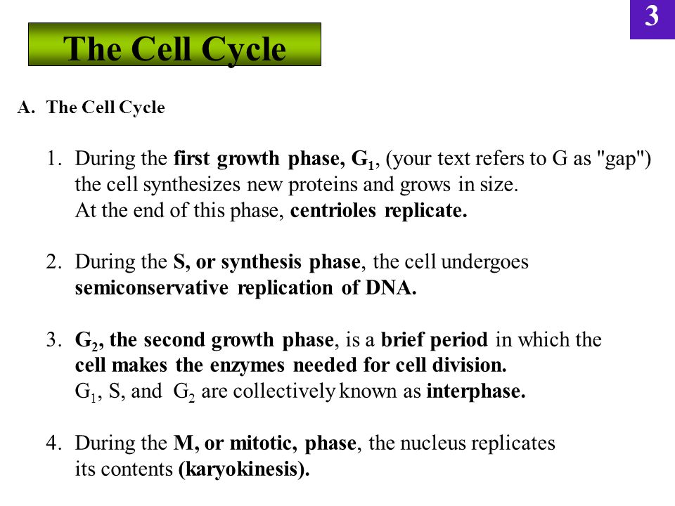 The Cell Cycle the cell synthesizes new proteins and grows in size.