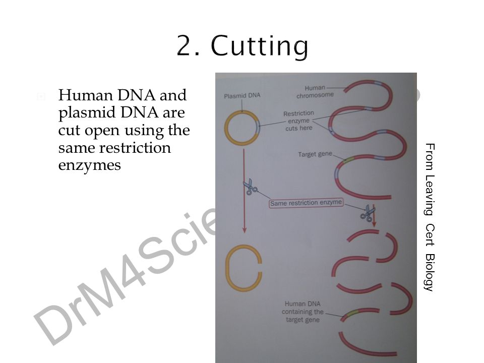 2. Cutting Human DNA and plasmid DNA are cut open using the same restriction enzymes. From Leaving Cert Biology.