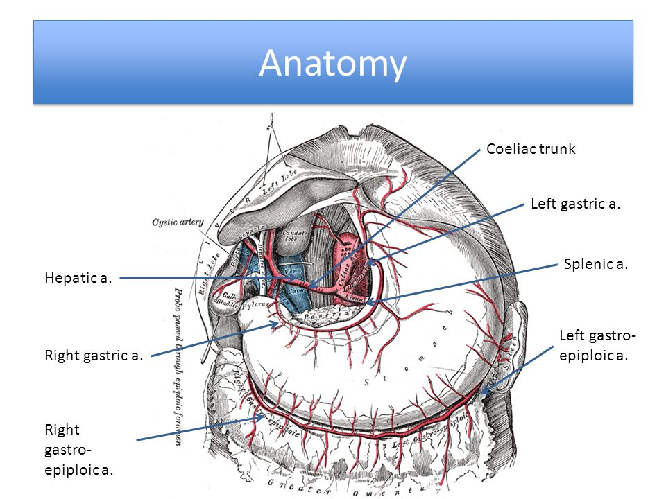 Anatomy Coeliac trunk Left gastric a. Splenic a. Hepatic a.