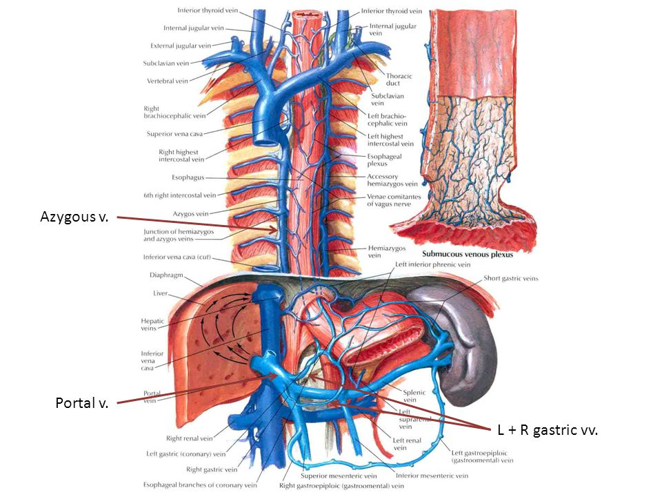 Azygous v. Portal v. L + R gastric vv.
