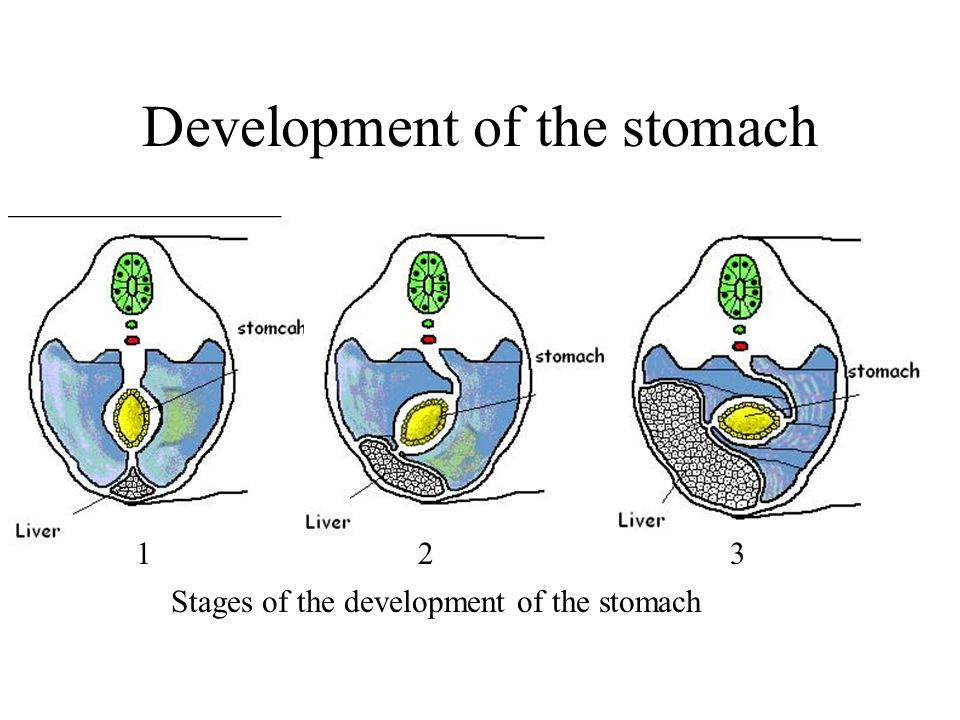 Development of the stomach