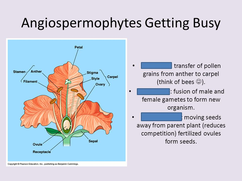 Angiospermophytes Getting Busy