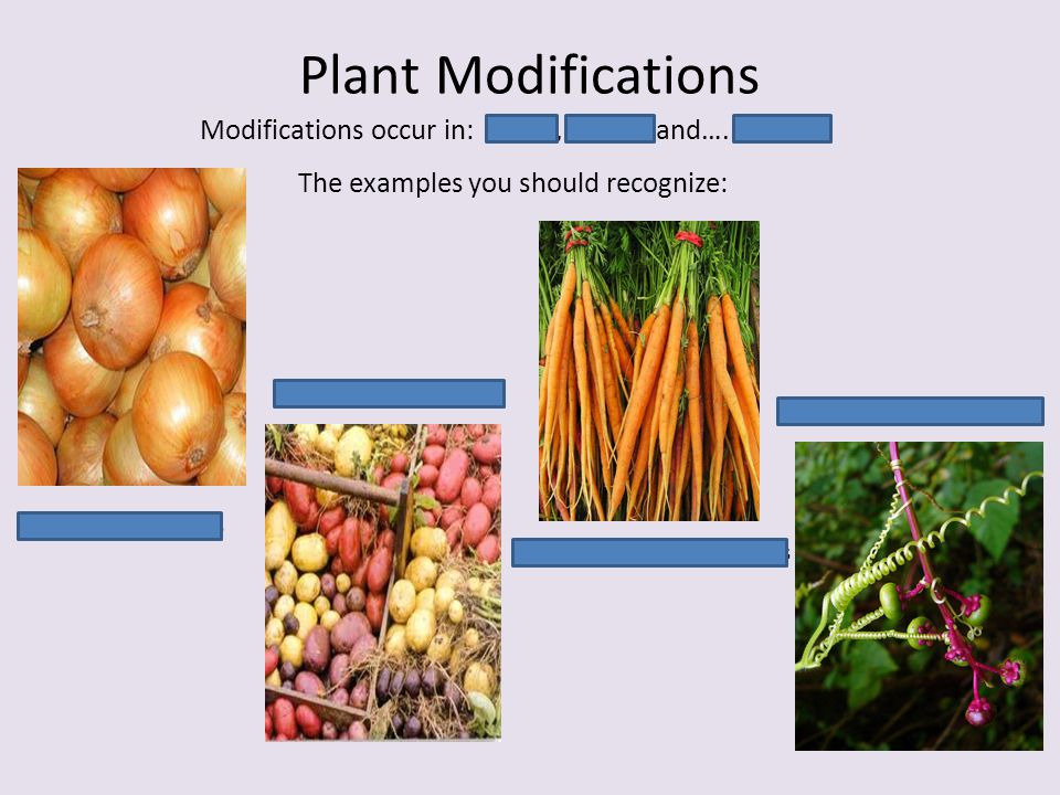 Plant Modifications Modifications occur in: Roots, Stems, and….. Leaves. The examples you should recognize: