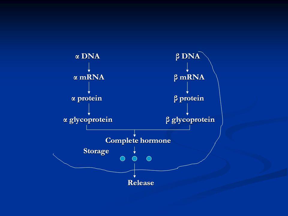 α DNA β DNA α mRNA β mRNA.