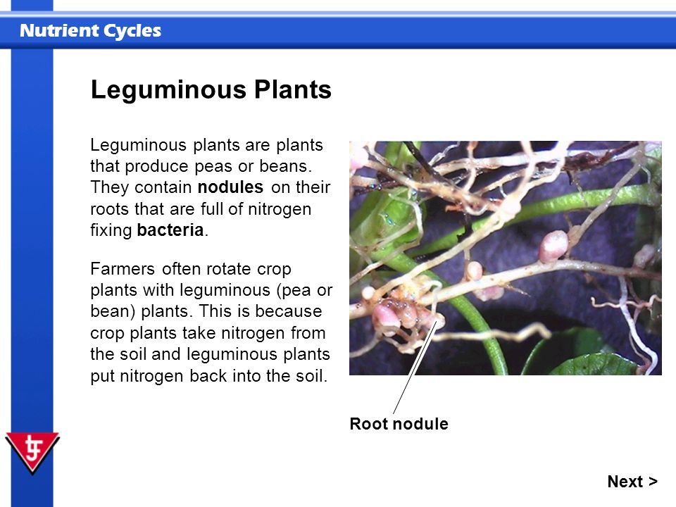 Leguminous Plants