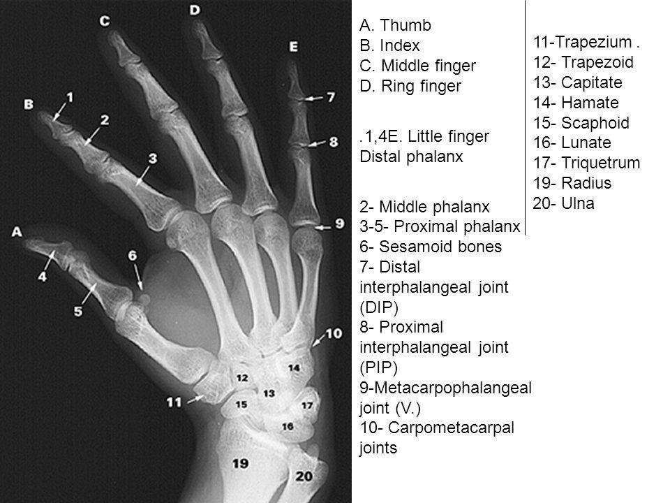 A. Thumb B. Index C. Middle finger D. Ring finger