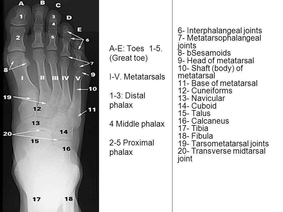 A-E: Toes 1-5. (Great toe) I-V