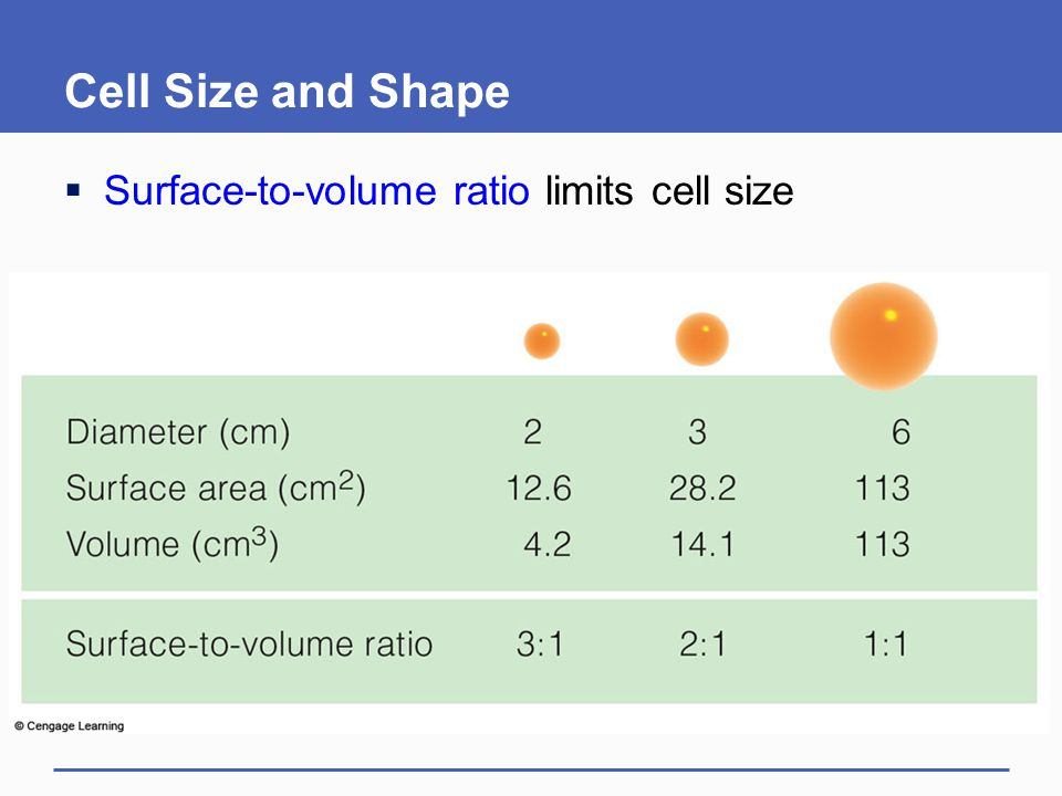 Cell Size and Shape Surface-to-volume ratio limits cell size