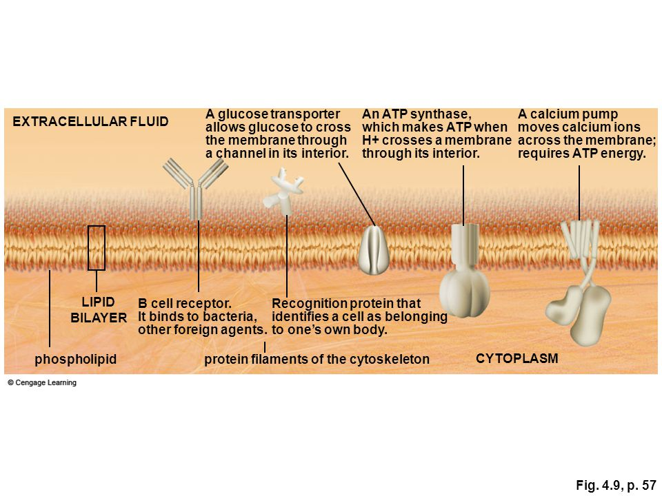 A glucose transporter allows glucose to cross. the membrane through. a channel in its interior. An ATP synthase,