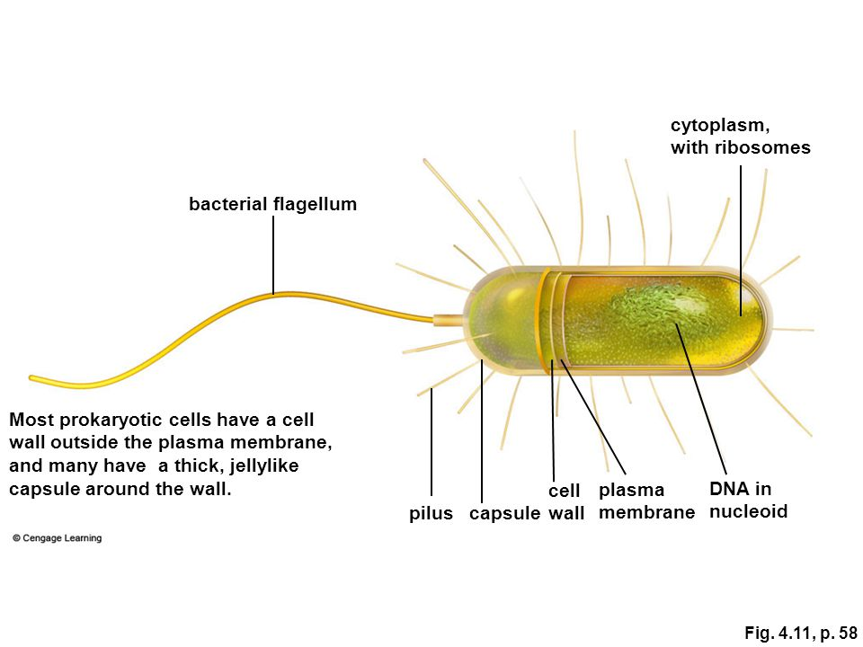 Most prokaryotic cells have a cell wall outside the plasma membrane,