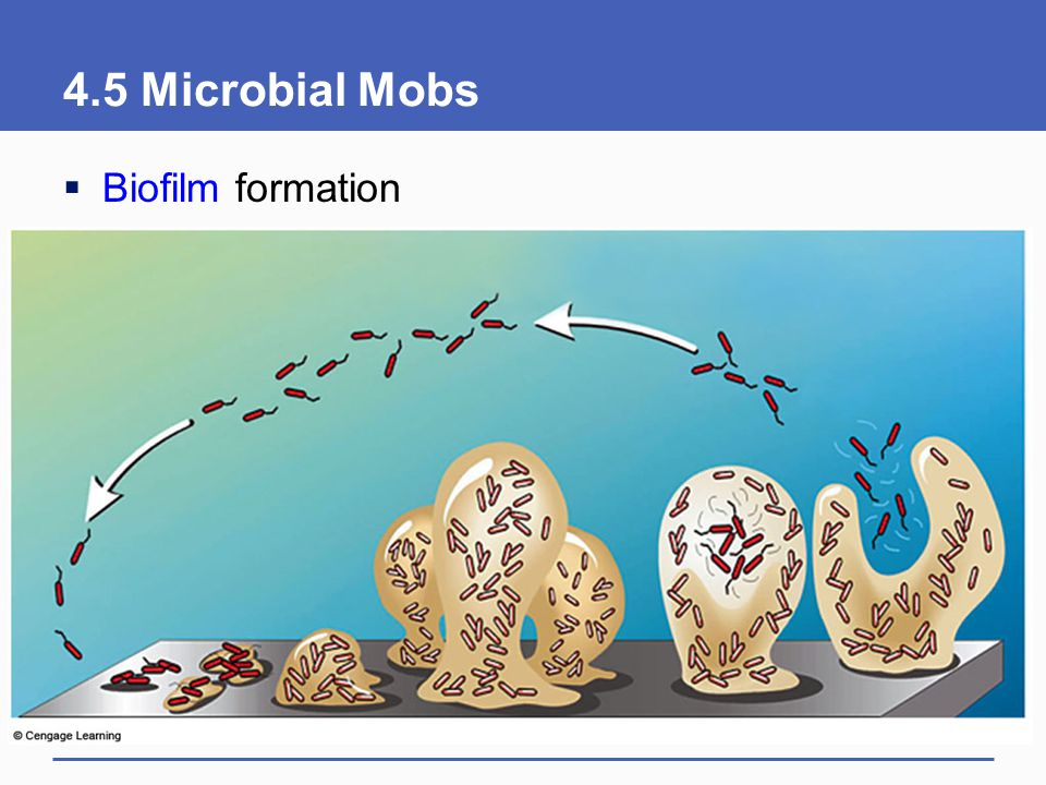 4.5 Microbial Mobs Biofilm formation