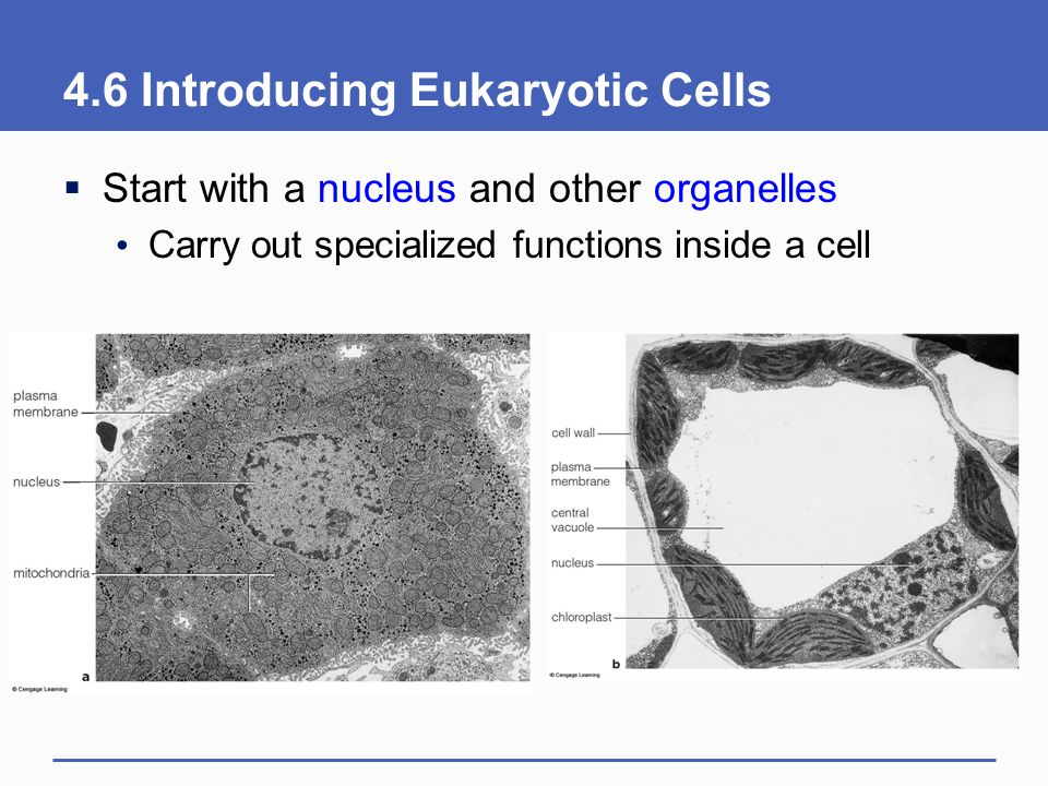 4.6 Introducing Eukaryotic Cells
