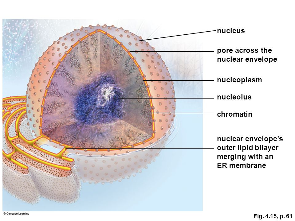 nucleus pore across the nuclear envelope nucleoplasm nucleolus