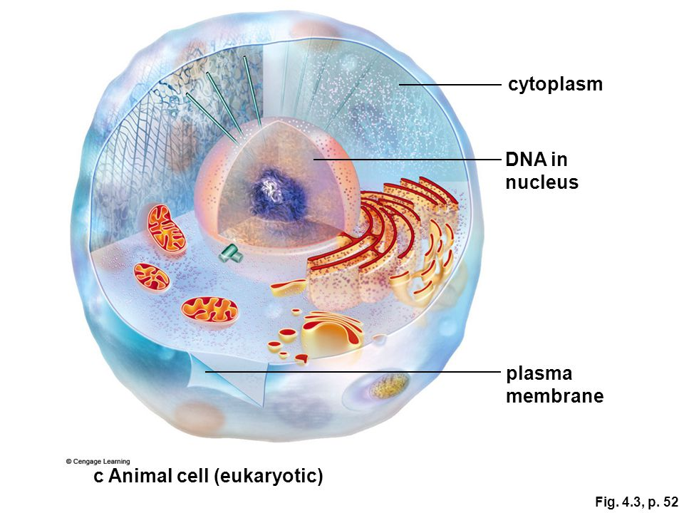 c Animal cell (eukaryotic)