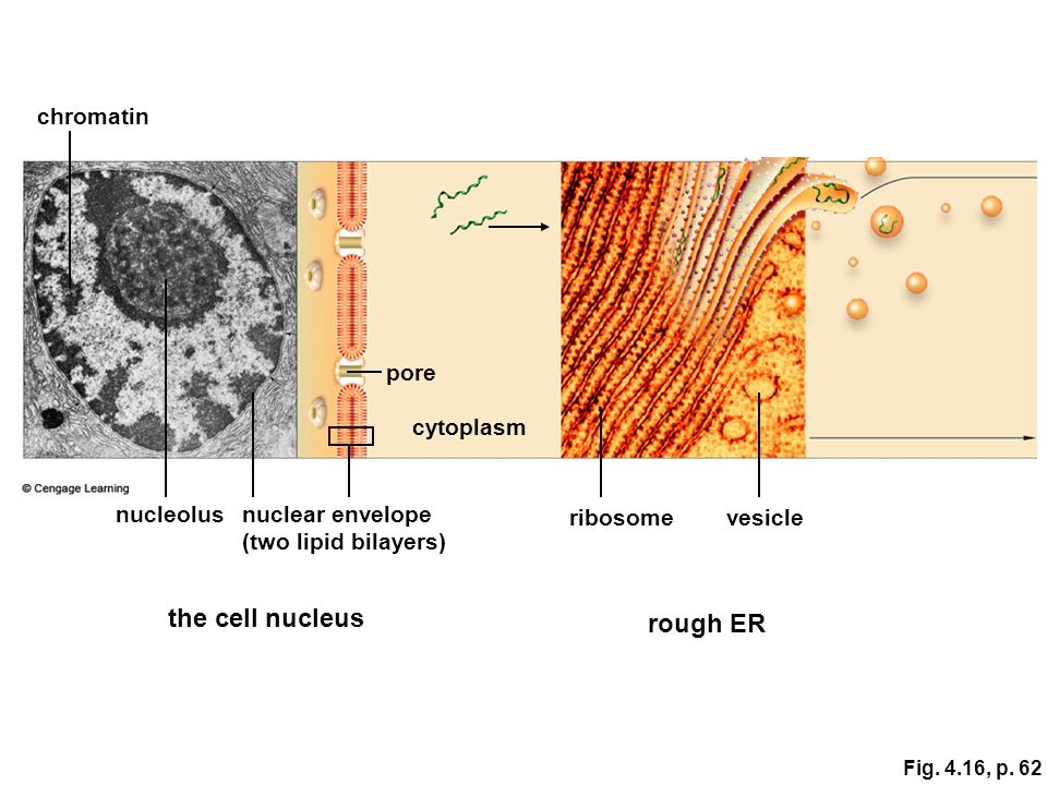 the cell nucleus rough ER chromatin pore cytoplasm nucleolus