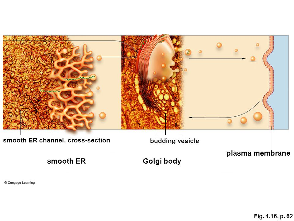 plasma membrane smooth ER Golgi body smooth ER channel, cross-section