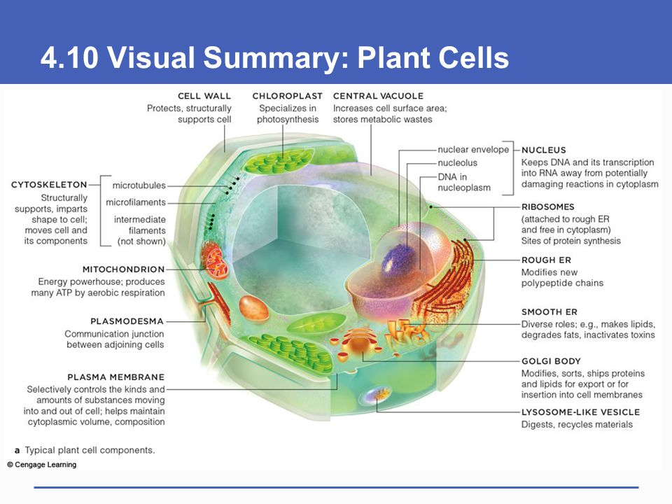 4.10 Visual Summary: Plant Cells