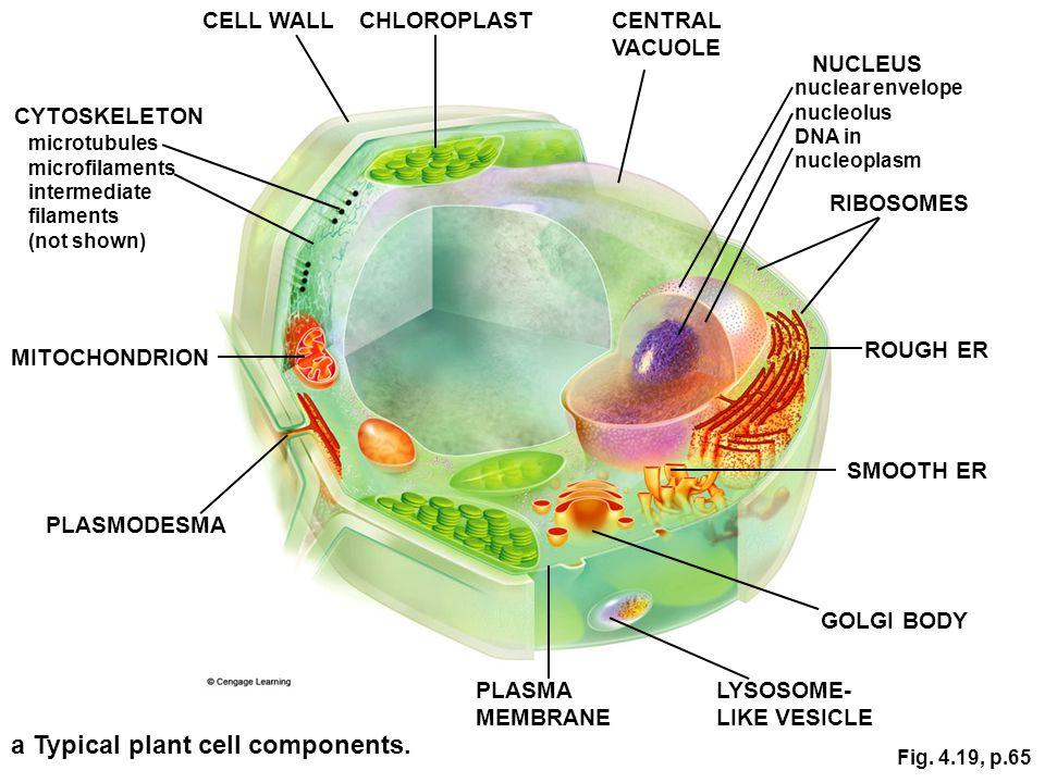 a Typical plant cell components.