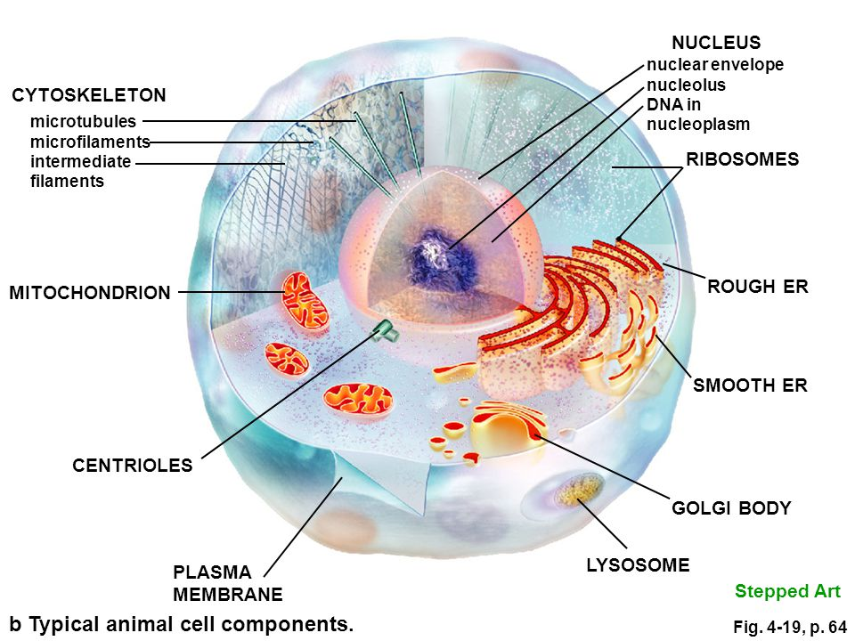 b Typical animal cell components.