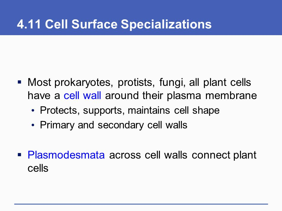 4.11 Cell Surface Specializations
