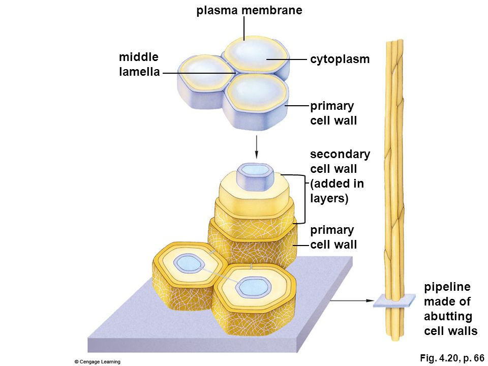 plasma membrane middle cytoplasm lamella primary cell wall secondary