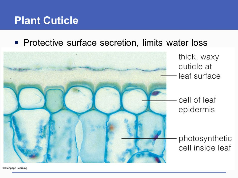 Plant Cuticle Protective surface secretion, limits water loss