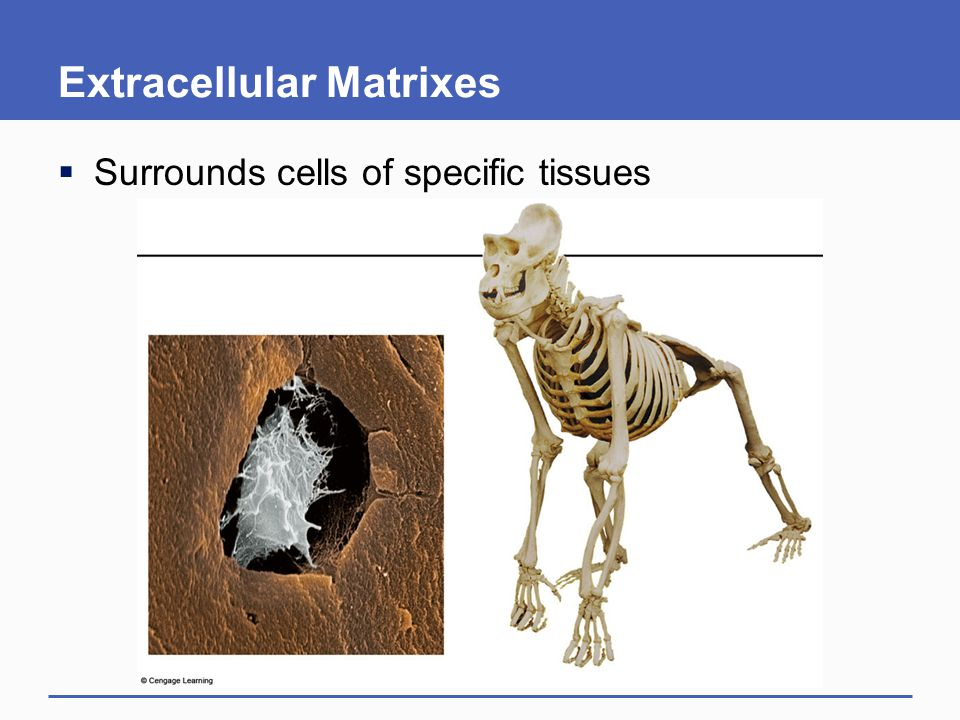 Extracellular Matrixes