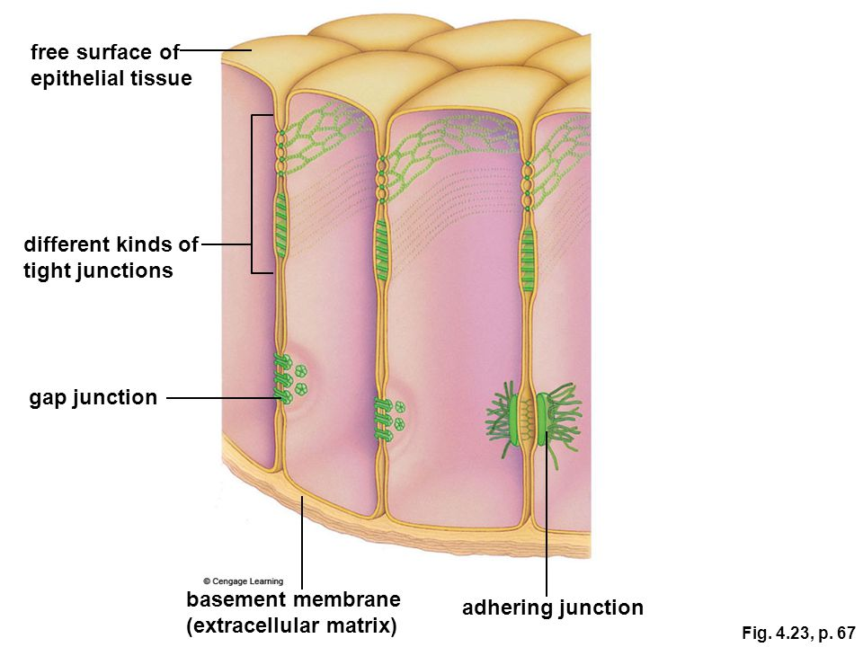 (extracellular matrix) adhering junction