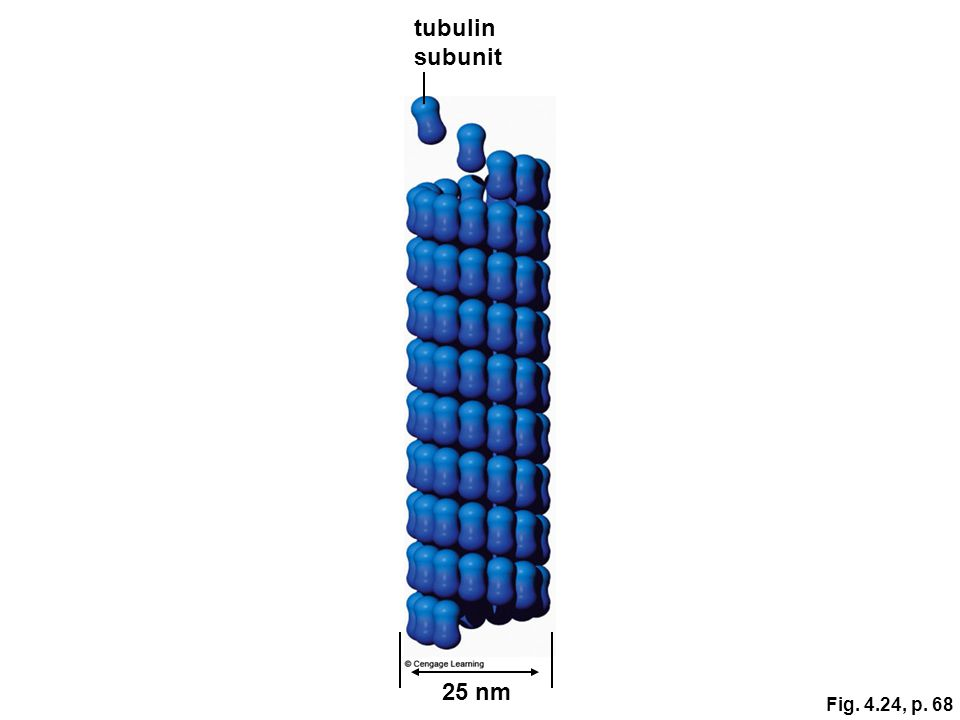 tubulin subunit 25 nm Fig. 4.24, p. 68