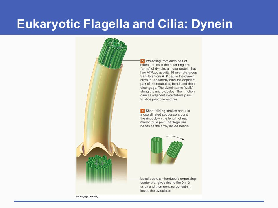 Eukaryotic Flagella and Cilia: Dynein