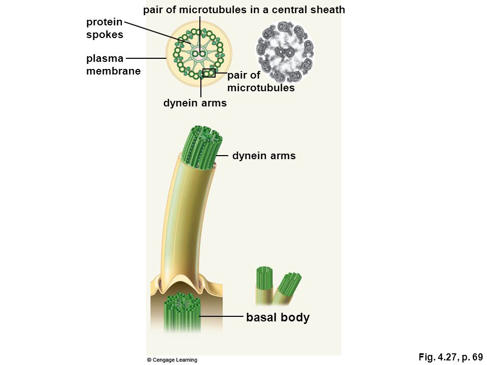 basal body pair of microtubules in a central sheath protein spokes