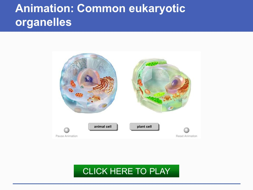 Animation: Common eukaryotic organelles