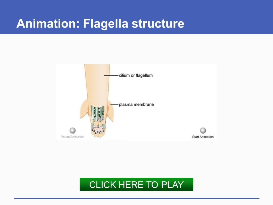 Animation: Flagella structure