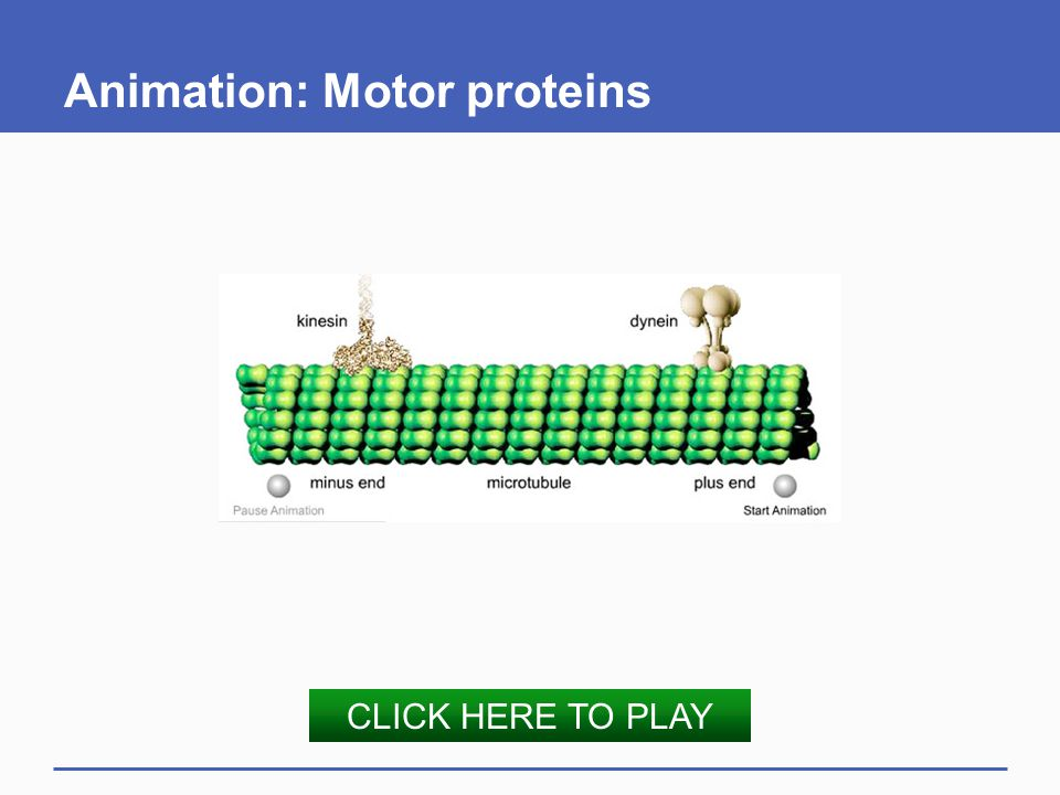 Animation: Motor proteins