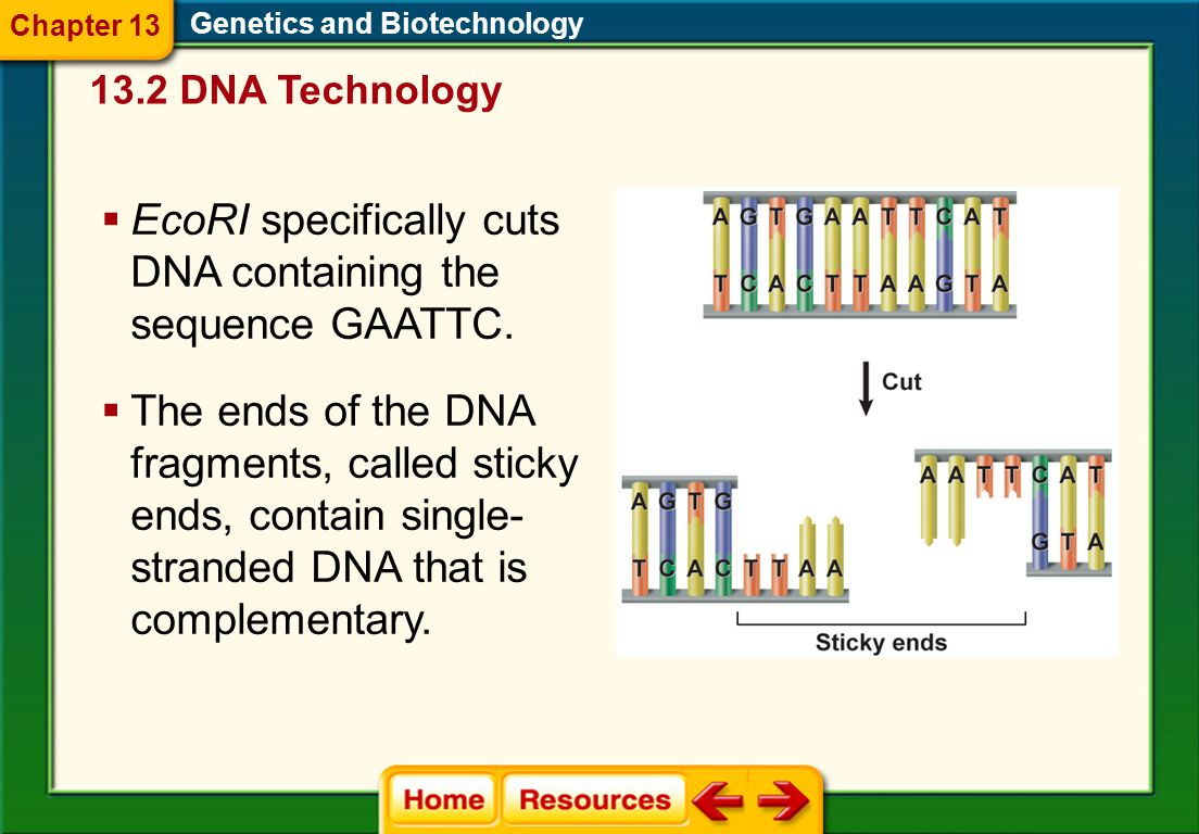 EcoRI specifically cuts DNA containing the sequence GAATTC.